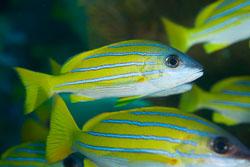 BD-150423-Maldives-7832-Lutjanus-kasmira-(Forsskål.-1775)-[Common-bluestripe-snapper].jpg